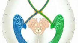 神経眼科イメージ・視路のイラスト